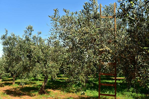 Uliveti e raccolta delle Olive nella Tenuta del Gallo