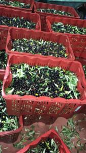 Evento raccolta olive 2019 cassette olive